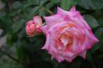 Scented Rose