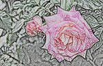 Scented Rose colored pencil