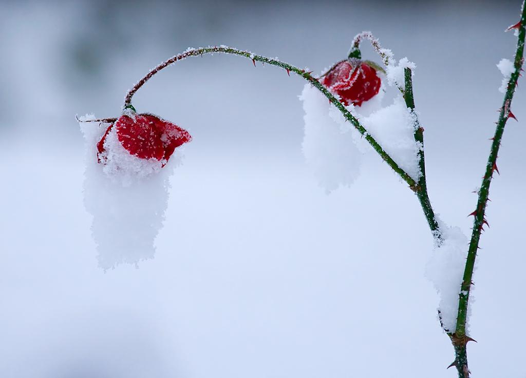 Frozen rose by mv79