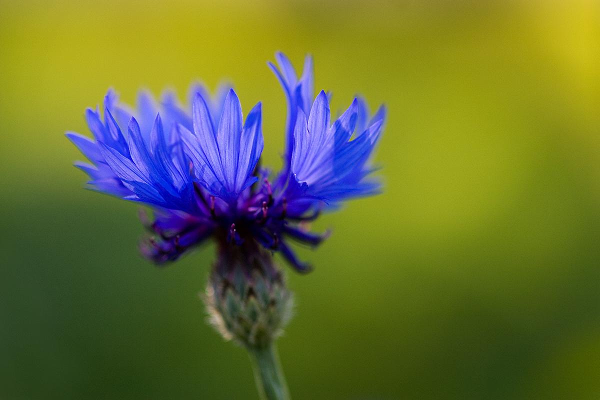 Cornflower by mv79 on DeviantArt