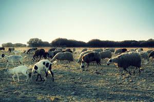 Roaming Sheeps