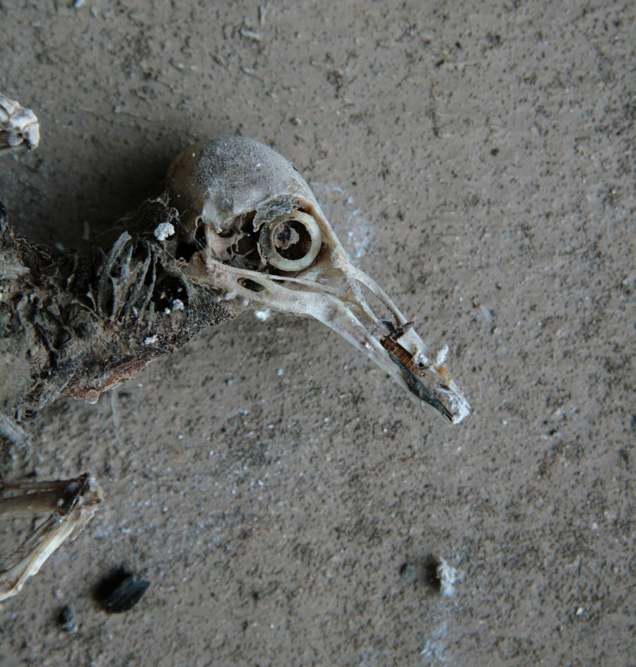 Mummified bird 2 - the head