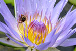 Waterlily and Bee