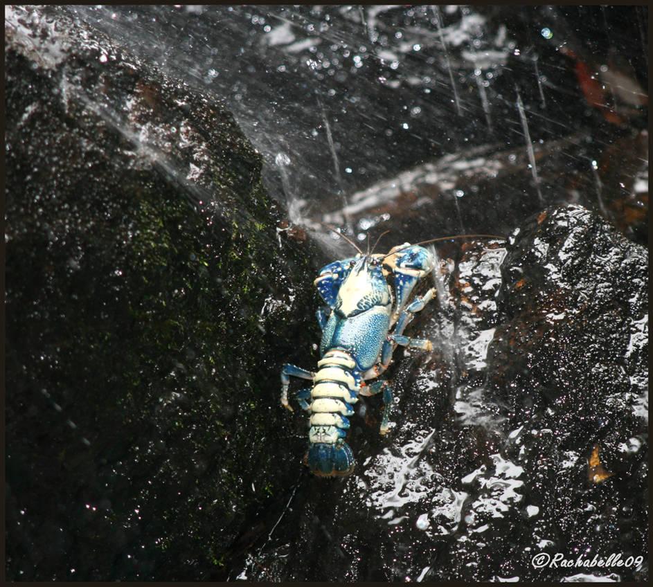 Yabby at bottom of waterfall