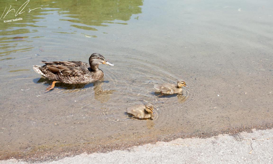 Ducklings by Mioko001