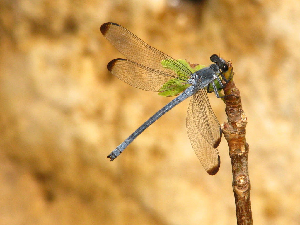 Dragonfly by SilentFortress
