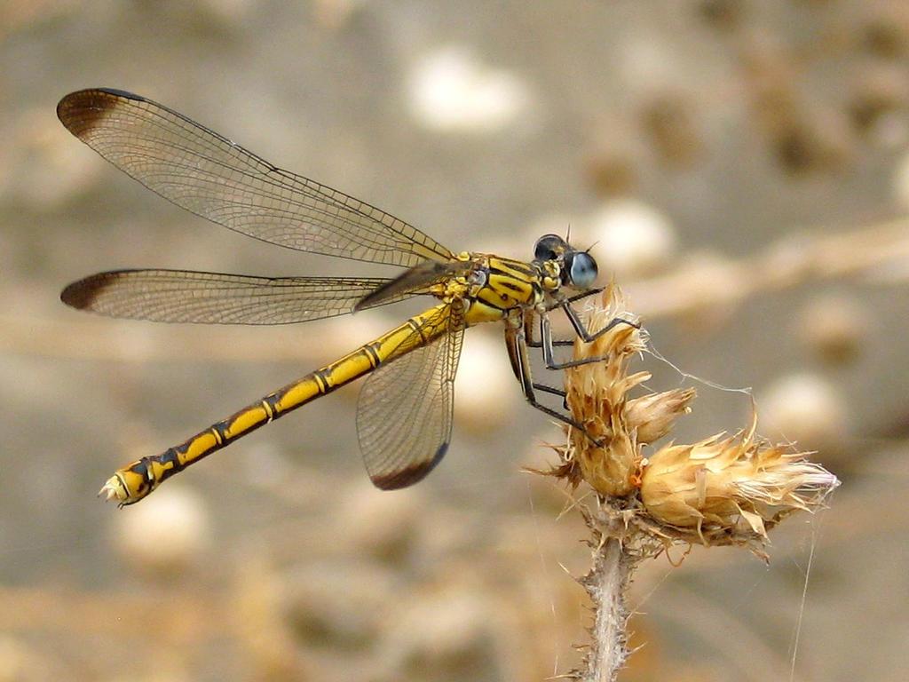Dragonfly II by SilentFortress