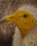 Egyptian Vulture (Neophron percnopterus) by InnocentMaiden