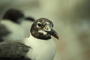 SeaEagle -CloseUp- by Baietu