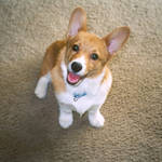 Cutest Corgi Evar