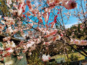 Peach blossom's