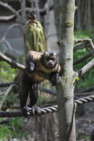 Capuchin Monkey by lucky-lacky