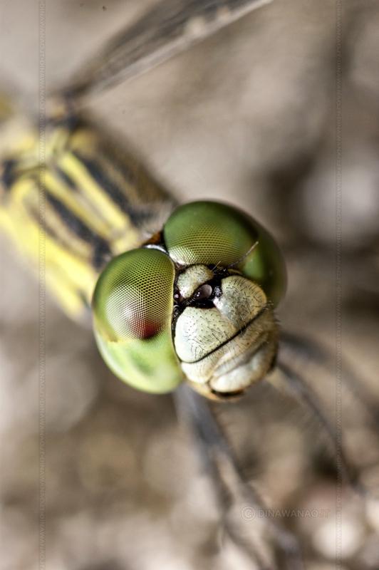 Anisoptera by dinawanaojt