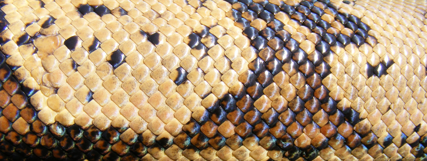 Columbian Redtail Boa Scales by Black-Vulture
