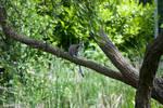 Kata Lemur