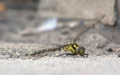 Waiting Dragonfly by TheConstructor