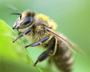 macro of a bee by Kluschi