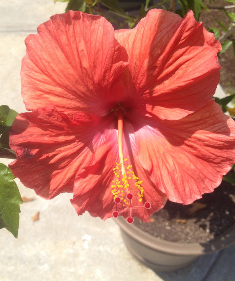 Hibiscus Flower by SirDNA109