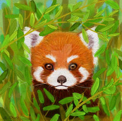 Red Panda in the bamboo