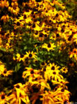 Sunkissed Daisys