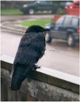 6 - Rainy Day Crow