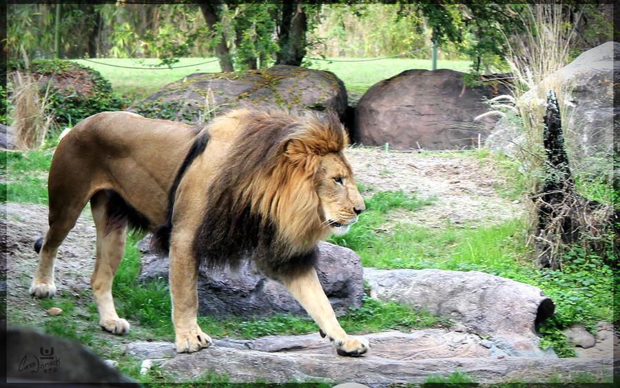 african male lion walking by charfade on deviantart