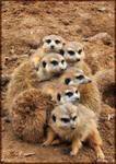 Cold Meerkats