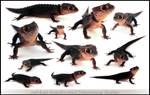 Red-Eyed Crocodile Skink 360