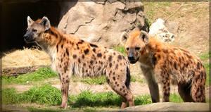 Hyenas on watch