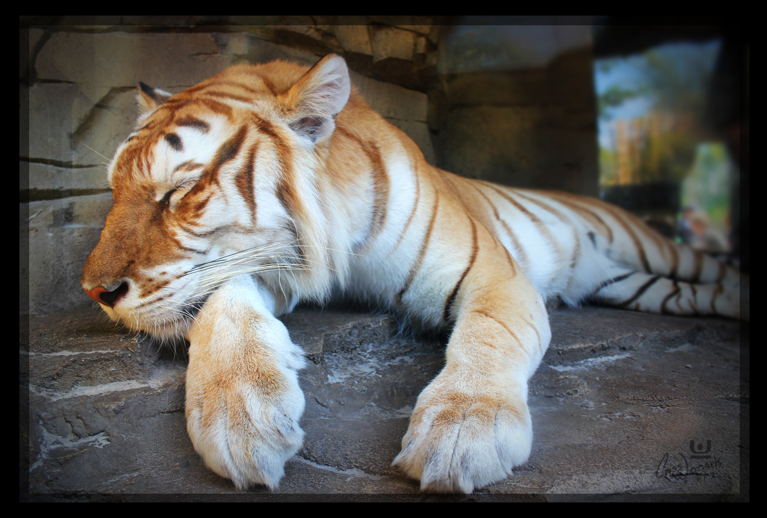 Golden Tiger In gold~ gold tabby tiger