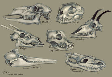 Animal Skulls Study by charfade