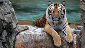 Siberian Tiger Wallpaper 1920x1080