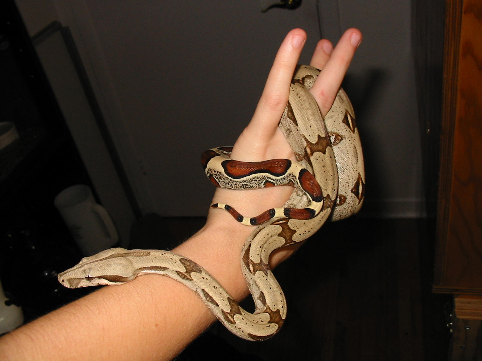 Red-Tailed Boa by poisonous