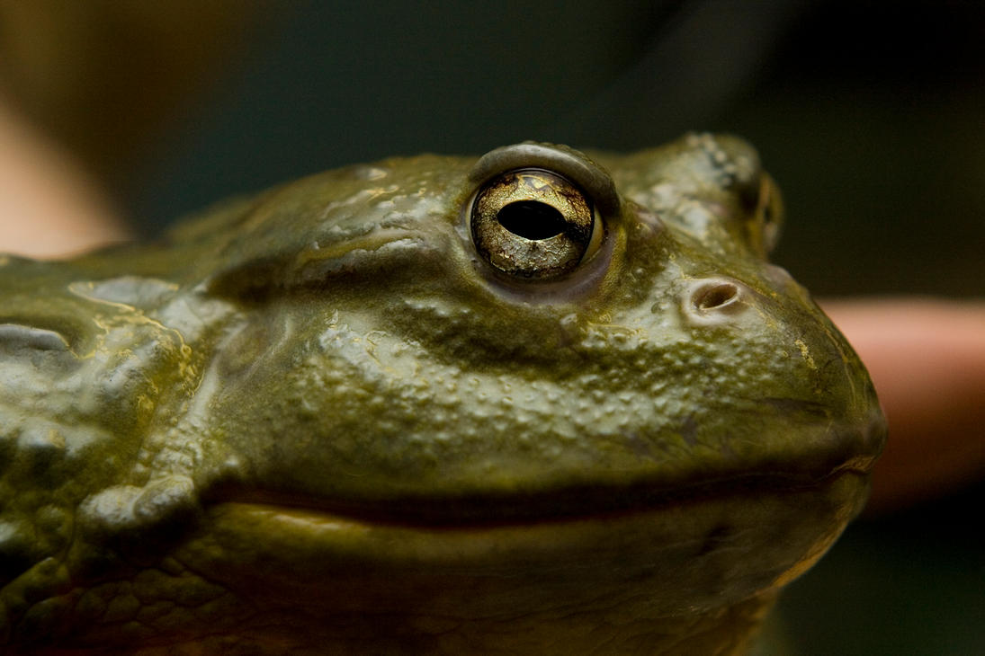 giant frog by poisonous on deviantart