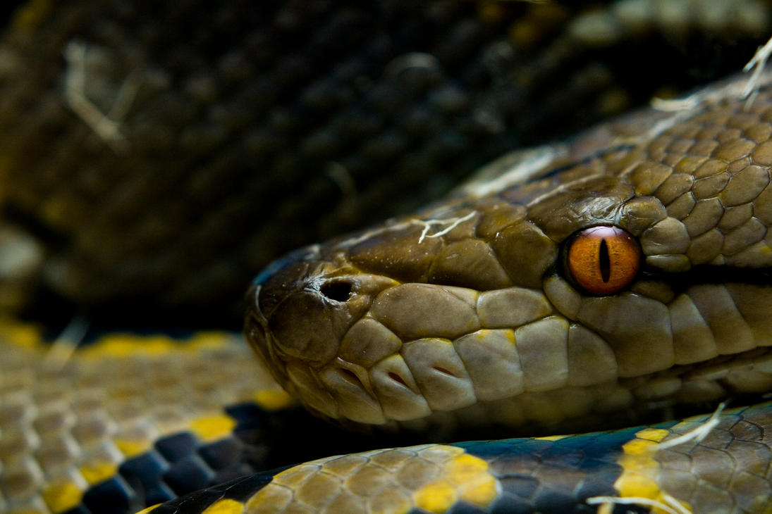 Baby Reticulated Python Reticulated python by