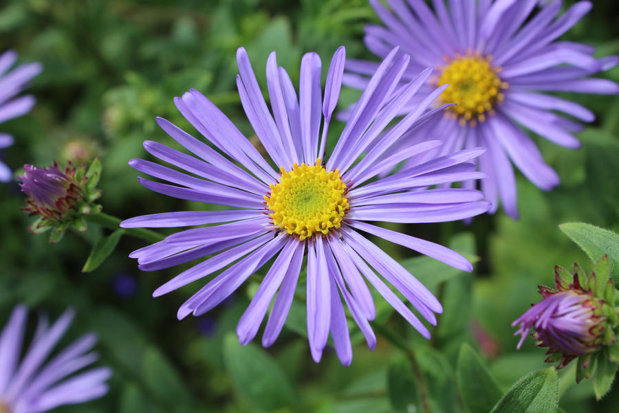 Purple Daisy by CazinaBottle