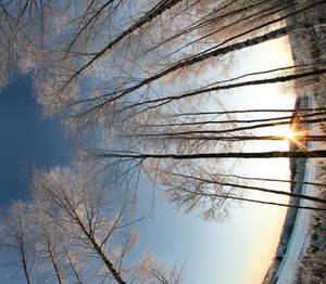 sunshine and birch trees