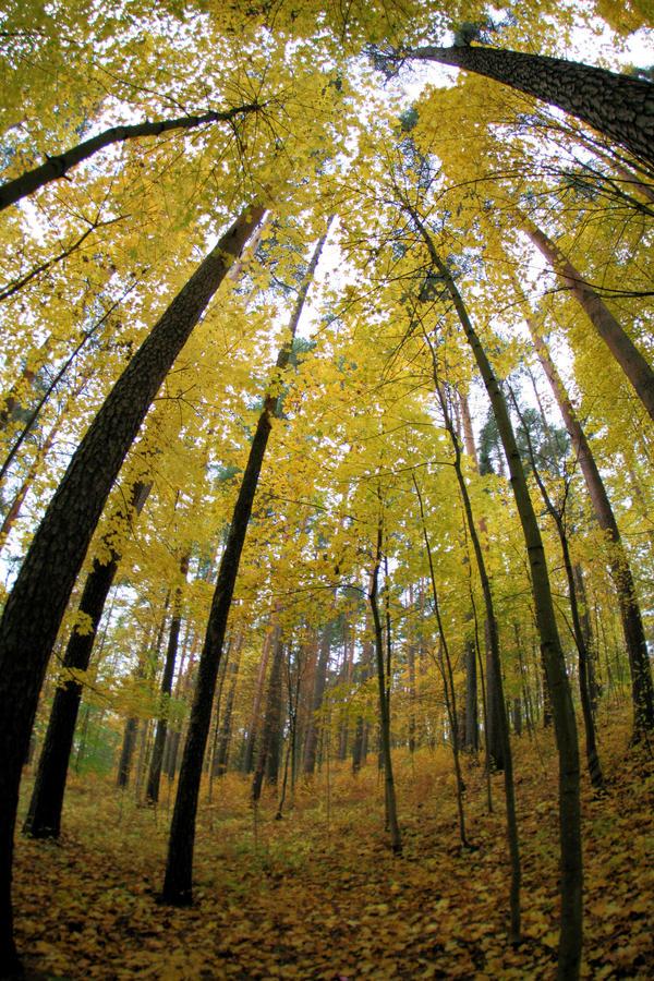 yellow autumn woods by KariLiimatainen