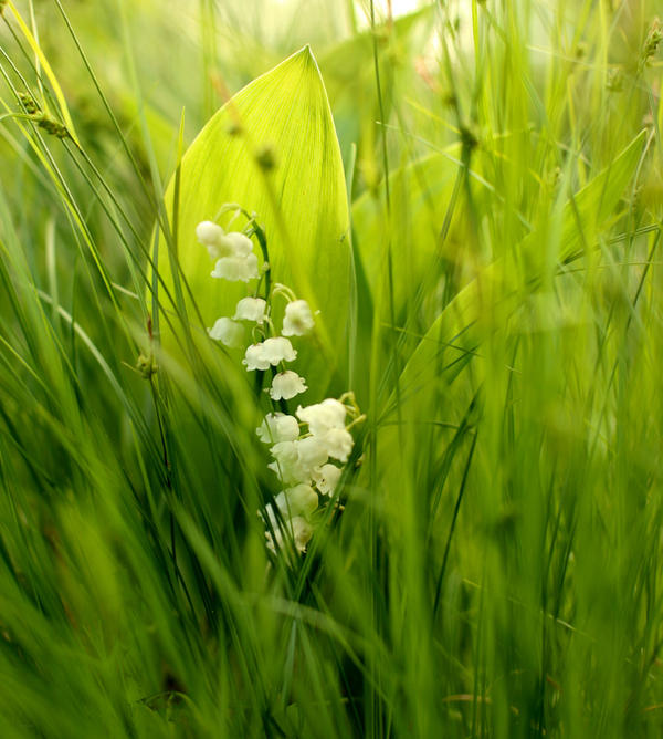 Lily Of The Valley By KariLiimatainen On DeviantArt