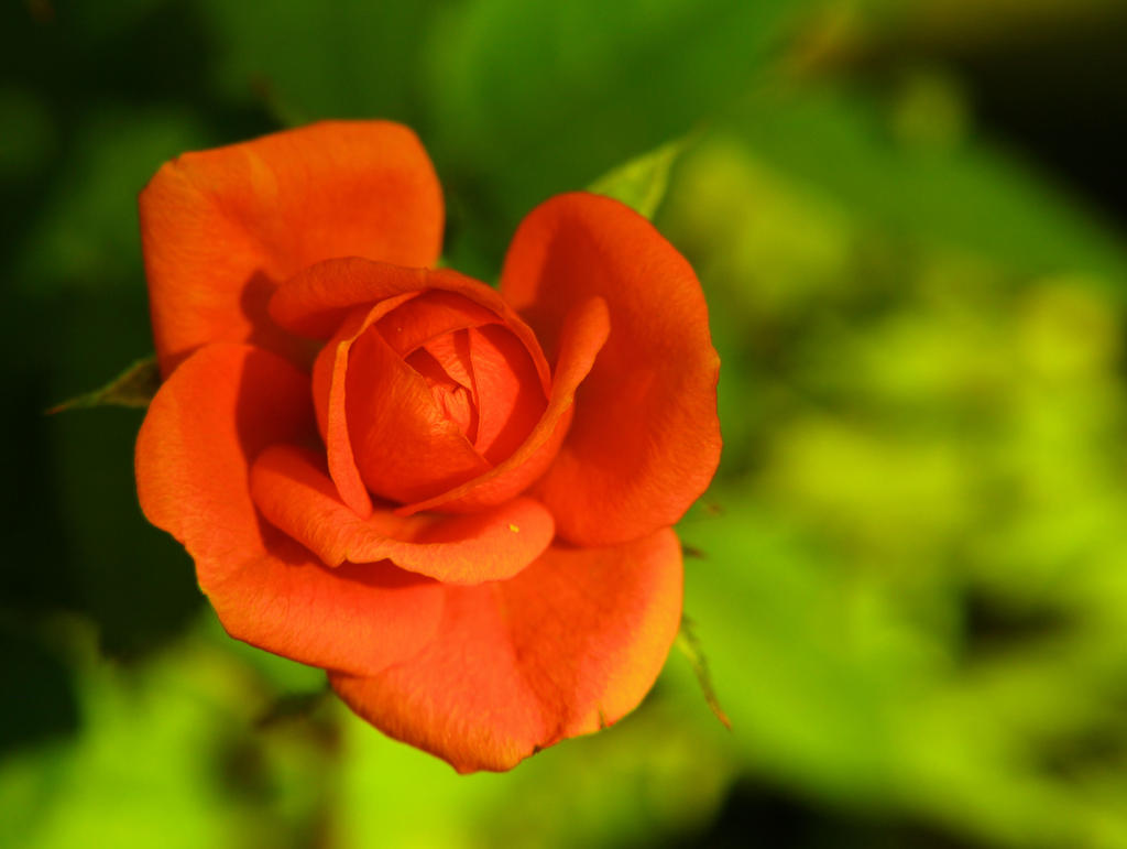 red rose by KariLiimatainen