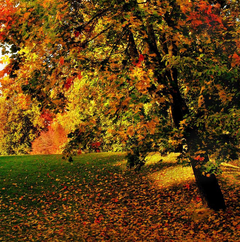 Autumn Maple by KariLiimatainen
