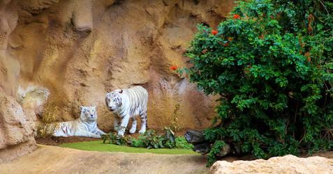 Great animals white tiger.