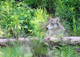 Wolf by KariLiimatainen