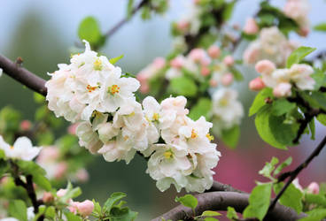 Blooming apple tree. by KariLiimatainen