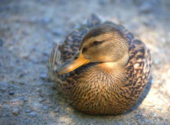 the duck is posing by KariLiimatainen