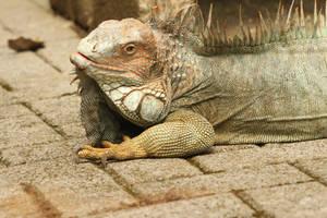 Iguana photo No. 4