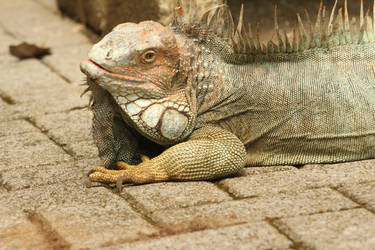 Iguana photo No. 4 by KenjiMinamoto
