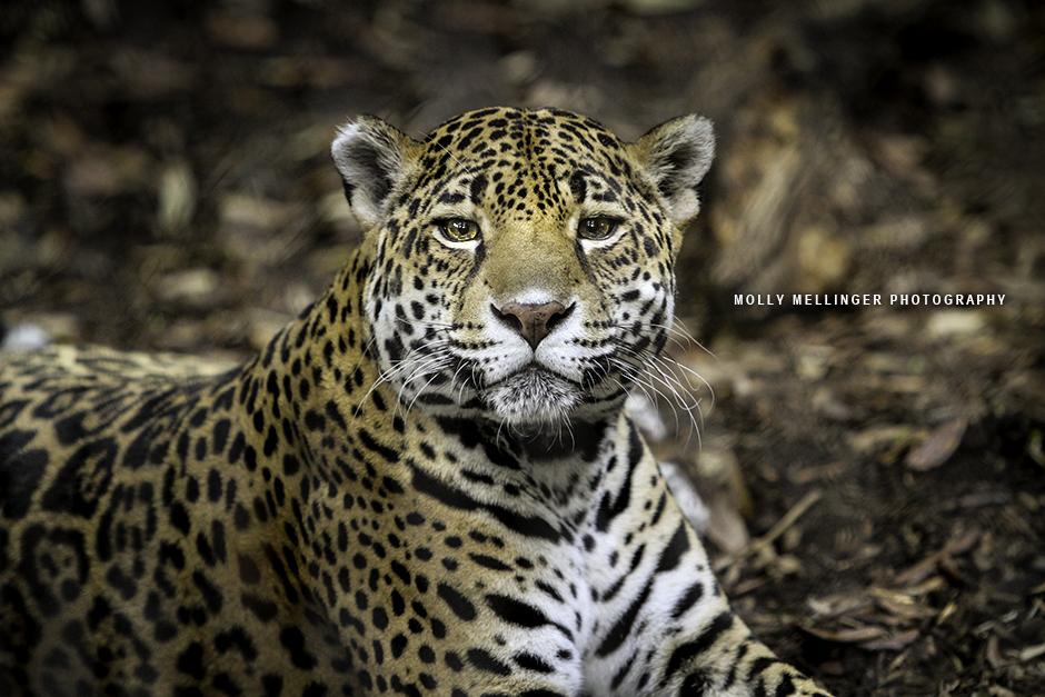 Jaguar by JAGfotos