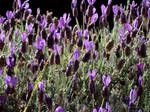Spanish Lavender by melsofmaui