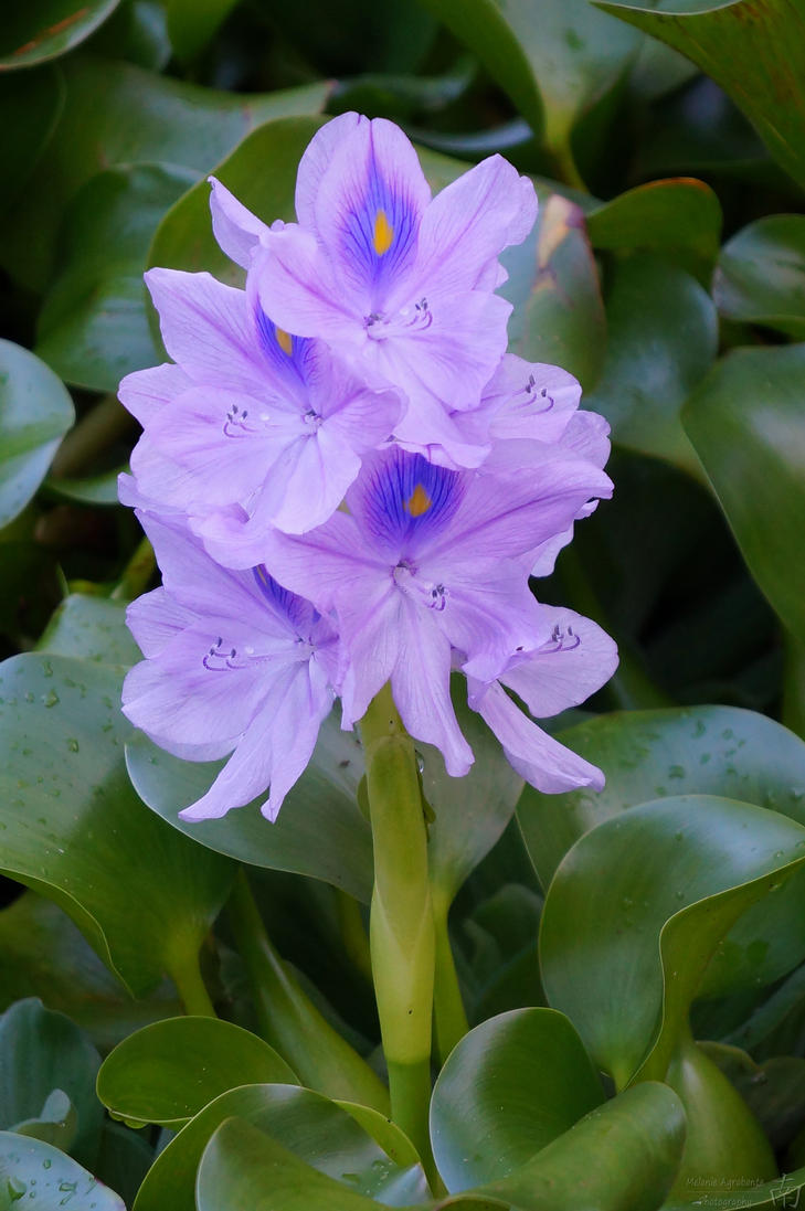 Water Hyacinth by melsofmaui